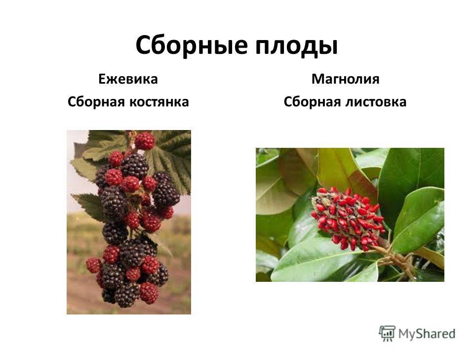 Сборные плоды Ежевика Сборная костянка Магнолия Сборная листовка