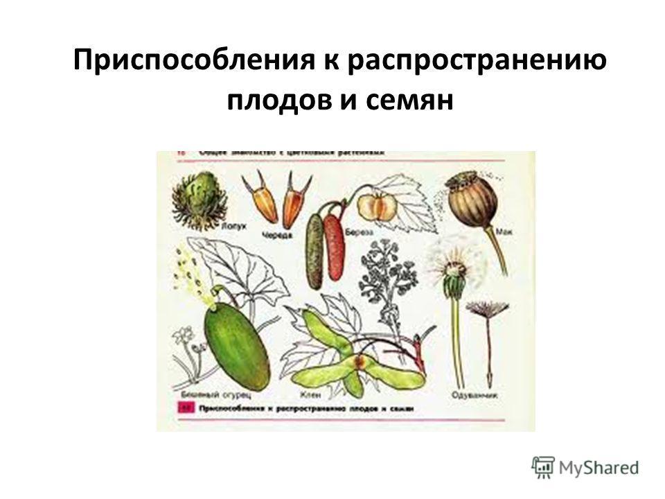 Приспособления к распространению плодов и семян