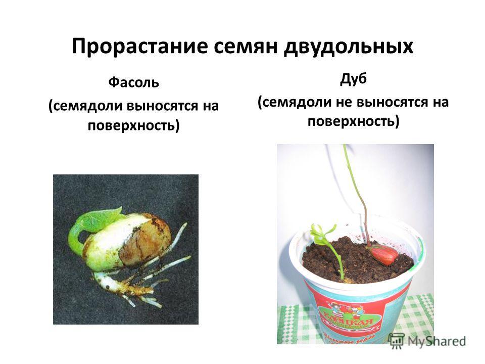 Прорастание семян двудольных Фасоль (семядоли выносятся на поверхность) Дуб (семядоли не выносятся на поверхность)