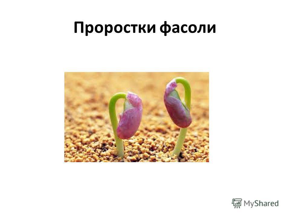 Проростки фасоли