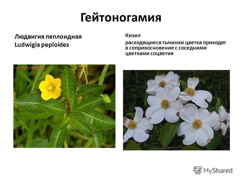 Гейтоногамия Людвигия пеплоидная Ludwigia peploides Кизил расходящиеся тычинки цветка приходят в соприкосновение с соседними цветками соцветия