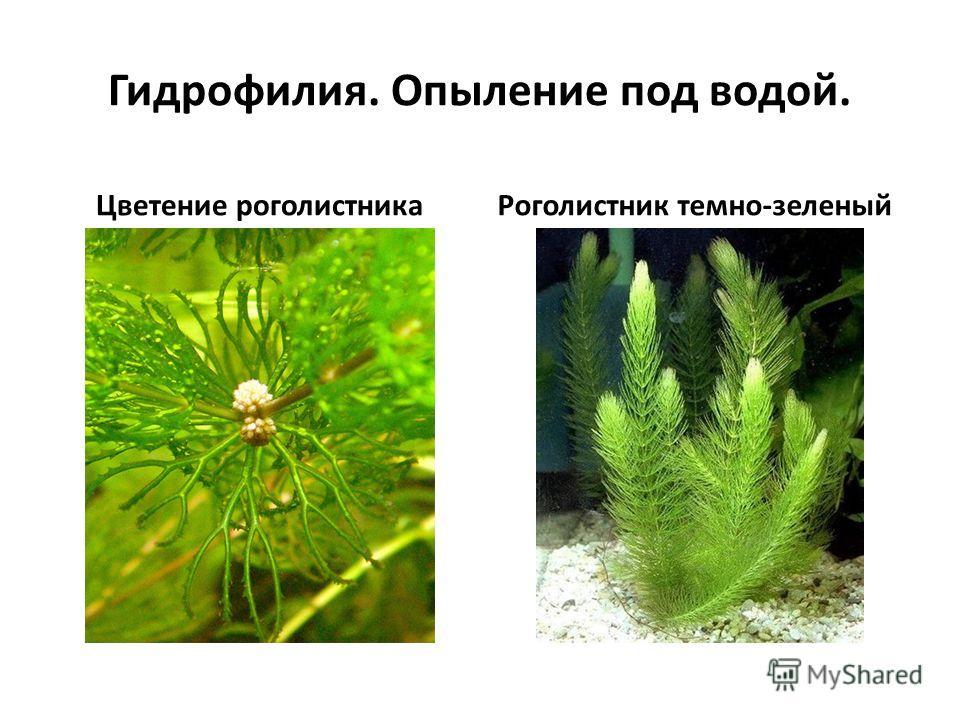 Гидрофилия. Опыление под водой. Цветение роголистникаРоголистник темно-зеленый