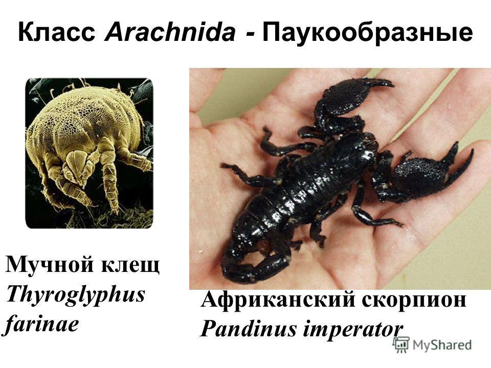 Мучной клещ Thyroglyphus farinae Африканский скорпион Pandinus imperator Класс Arachnida - Паукообразные