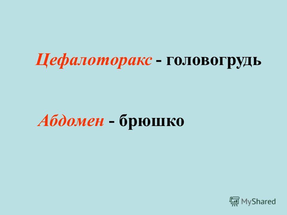 Цефалоторакс - головогрудь Абдомен - брюшко