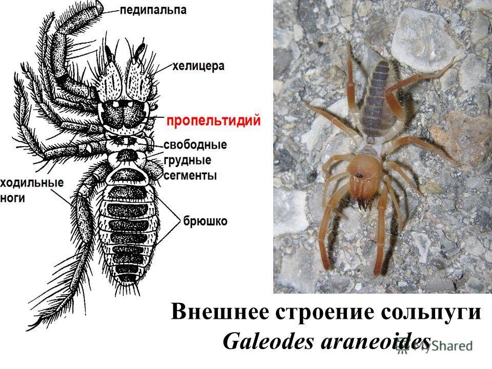 Внешнее строение сольпуги Galeodes araneoides