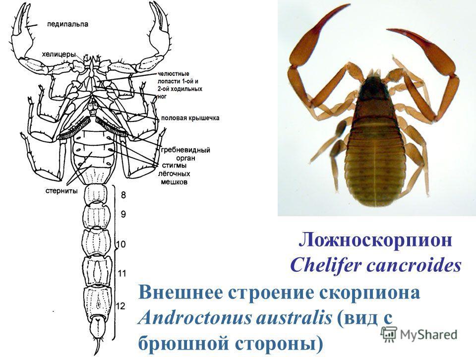 Внешнее строение скорпиона Androctonus australis (вид с брюшной стороны) Ложноскорпион Chelifer cancroides