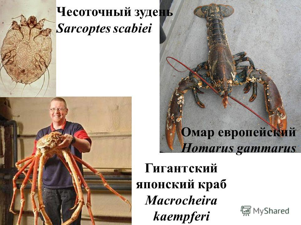 Омар европейский Homarus gammarus Гигантский японский краб Macrocheira kaempferi Чесоточный зудень Sarcoptes scabiei