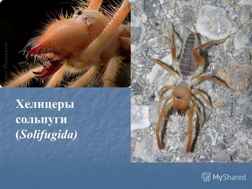 Хелицеры сольпуги (Solifugida)