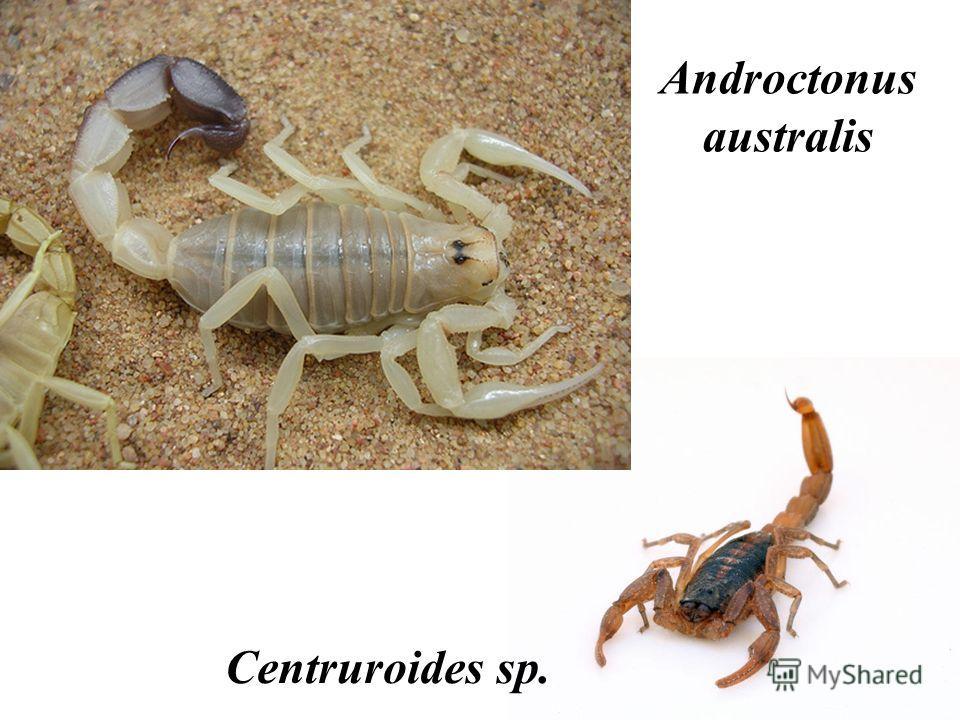 Androctonus australis Centruroides sp.