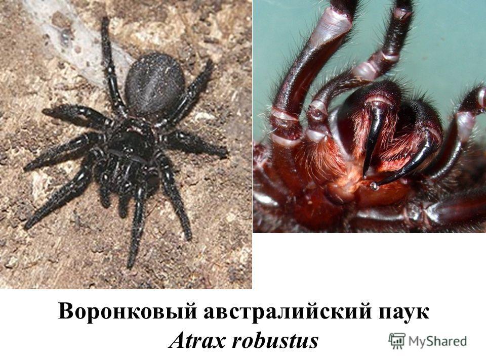 Воронковый австралийский паук Atrax robustus