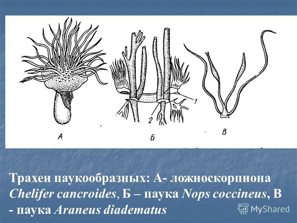 Трахеи паукообразных: А- ложноскорпиона Chelifer cancroides, Б – паука Nops coccineus, В - паука Araneus diadematus