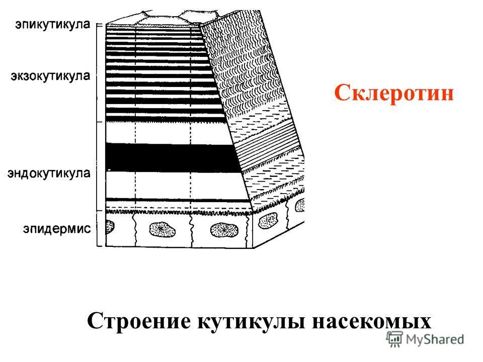 Строение кутикулы насекомых Склеротин