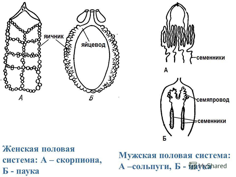 Женская половая система: А – скорпиона, Б - паука Мужская половая система: А –сольпуги, Б - паука