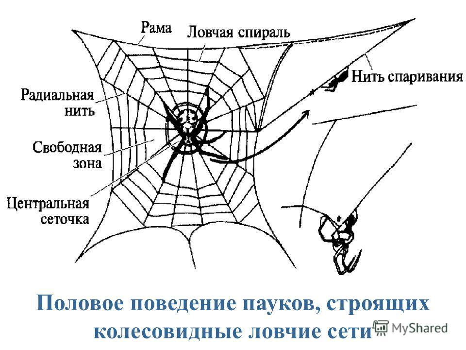 Половое поведение пауков, строящих колесовидные ловчие сети