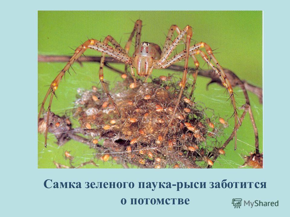 Самка зеленого паука-рыси заботится о потомстве