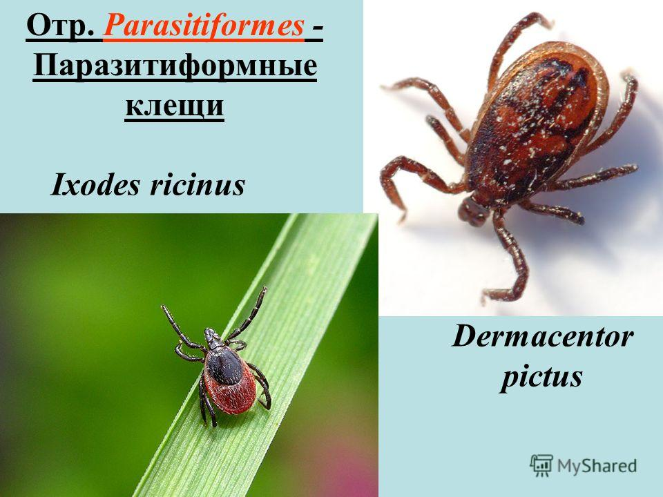 Ixodes ricinus Dermacentor pictus Отр. Parasitiformes - Паразитиформные клещи