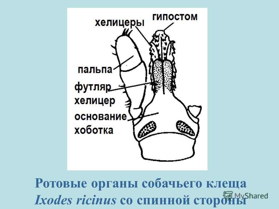 Ротовые органы собачьего клеща Ixodes ricinus со спинной стороны