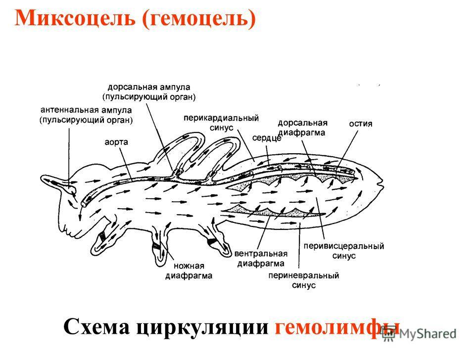 Миксоцель (гемоцель) Схема циркуляции гемолимфы