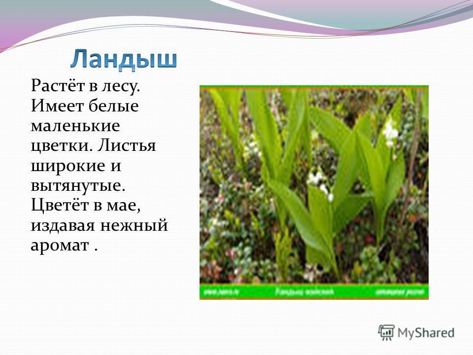 Растёт в лесу. Имеет белые маленькие цветки. Листья широкие и вытянутые. Цветёт в мае, издавая нежный аромат.