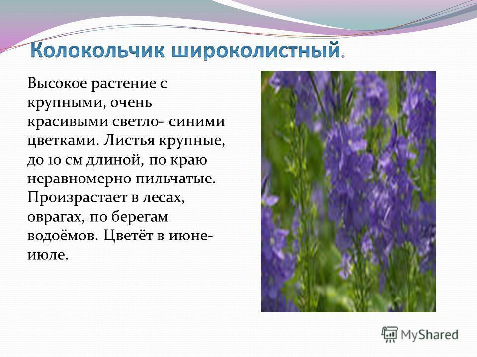 Высокое растение с крупными, очень красивыми светло- синими цветками. Листья крупные, до 10 см длиной, по краю неравномерно пильчатые. Произрастает в лесах, оврагах, по берегам водоёмов. Цветёт в июне- июле.