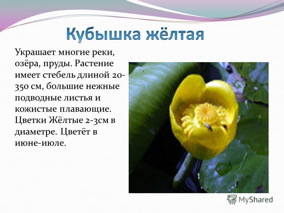 Украшает многие реки, озёра, пруды. Растение имеет стебель длиной 20- 350 см, большие нежные подводные листья и кожистые плавающие. Цветки Жёлтые 2-3см в диаметре. Цветёт в июне-июле.
