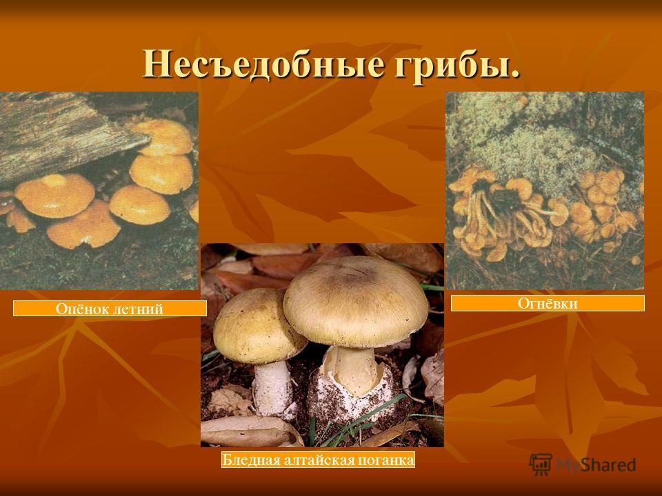 Несъедобные грибы. Опёнок летний Огнёвки Бледная алтайская поганка
