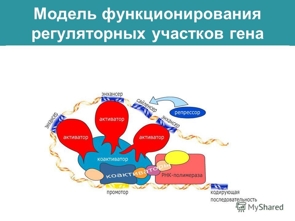 Модель функционирования регуляторных участков гена