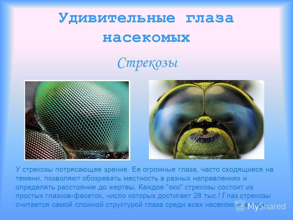 Удивительные глаза насекомых Стрекозы У стрекозы потрясающее зрение. Ее огромные глаза, часто сходящиеся на темени, позволяют обозревать местность в разных направлениях и определять расстояние до жертвы. Каждое