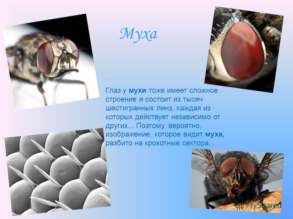 Муха Глаз у мухи тоже имеет сложное строение и состоит из тысяч шестигранных линз, каждая из которых действует независимо от других... Поэтому, вероятно, изображение, которое видит муха, разбито на крохотные сектора...
