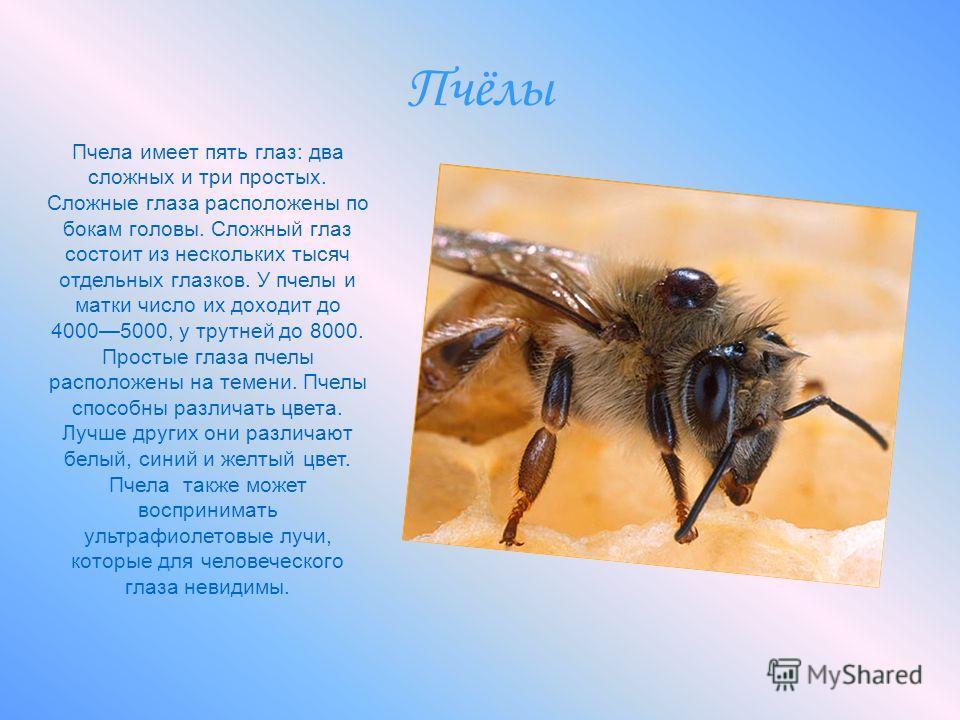 Пчёлы Пчела имеет пять глаз: два сложных и три простых. Сложные глаза расположены по бокам головы. Сложный глаз состоит из нескольких тысяч отдельных глазков. У пчелы и матки число их доходит до 40005000, у трутней до 8000. Простые глаза пчелы распол