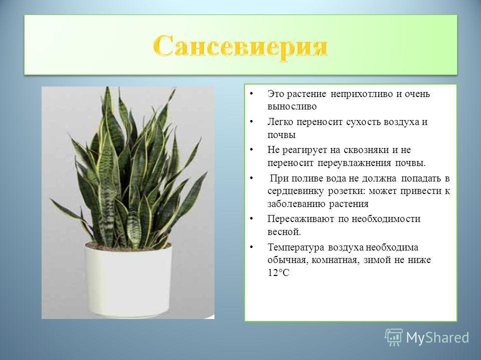 Это растение неприхотливо и очень выносливо Легко переносит сухость воздуха и почвы Не реагирует на сквозняки и не переносит переувлажнения почвы. При поливе вода не должна попадать в сердцевинку розетки: может привести к заболеванию растения Пересаж