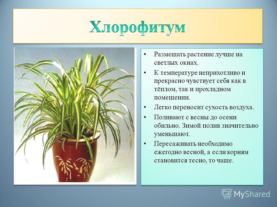 Размещать растение лучше на светлых окнах. К температуре неприхотливо и прекрасно чувствует себя как в тёплом, так и прохладном помещении. Легко переносит сухость воздуха. Поливают с весны до осени обильно. Зимой полив значительно уменьшают. Пересажи