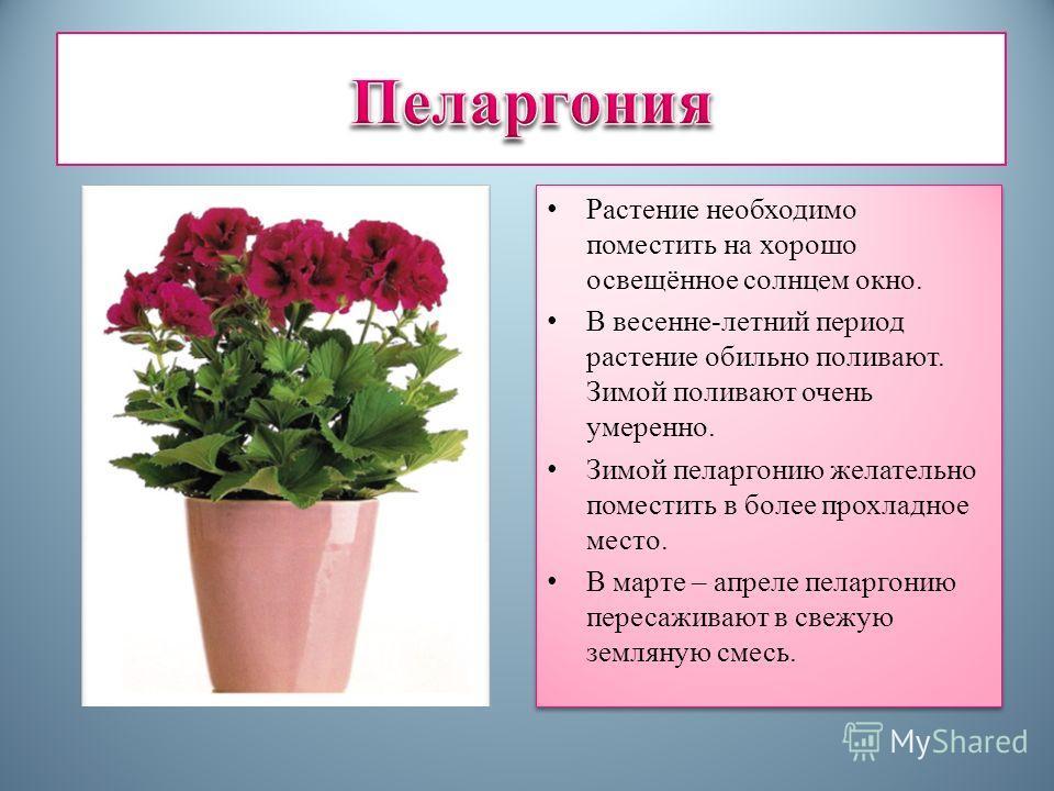 Растение необходимо поместить на хорошо освещённое солнцем окно. В весенне-летний период растение обильно поливают. Зимой поливают очень умеренно. Зимой пеларгонию желательно поместить в более прохладное место. В марте – апреле пеларгонию пересаживаю