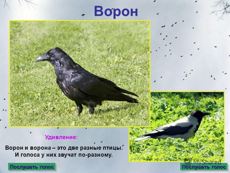 Ворон Ворон и ворона – это две разные птицы. И голоса у них звучат по-разному. Послушать голос Послушать голос Послушать голос Послушать голос Послушать голос Послушать голос Послушать голос Послушать голосУдивление:
