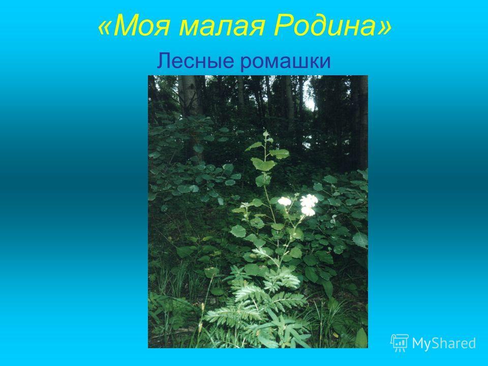 «Моя малая Родина» Лесные ромашки
