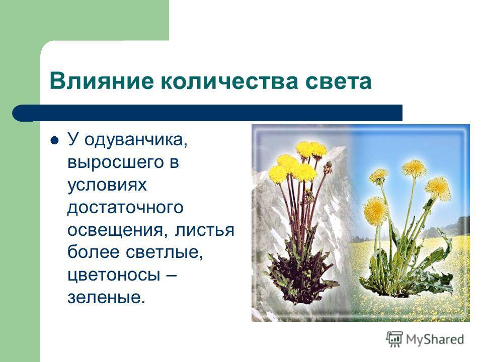Влияние количества света У одуванчика, выросшего в условиях достаточного освещения, листья более светлые, цветоносы – зеленые.