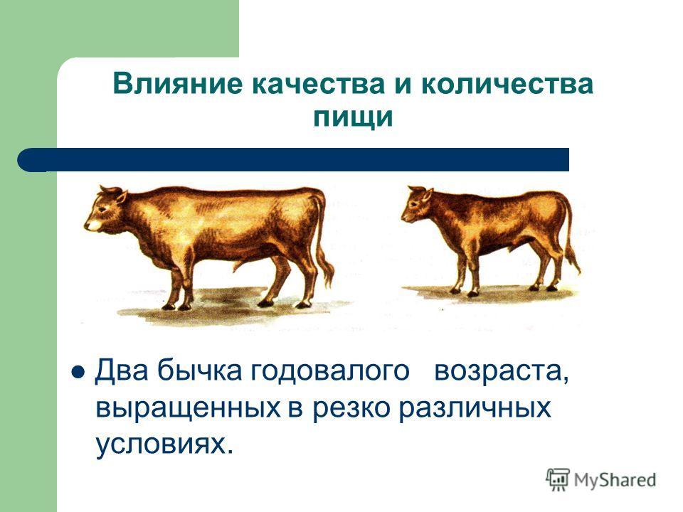 Влияние качества и количества пищи Два бычка годовалого возраста, выращенных в резко различных условиях.