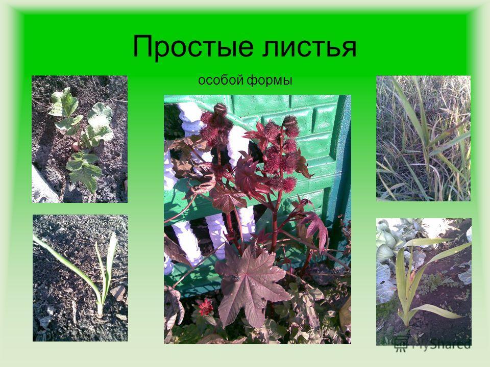 Простые листья особой формы