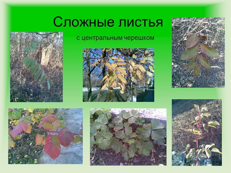 Сложные листья с центральным черешком