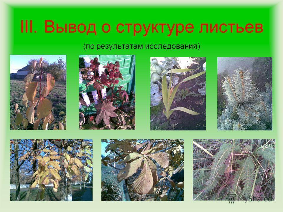 III. Вывод о структуре листьев (по результатам исследования)