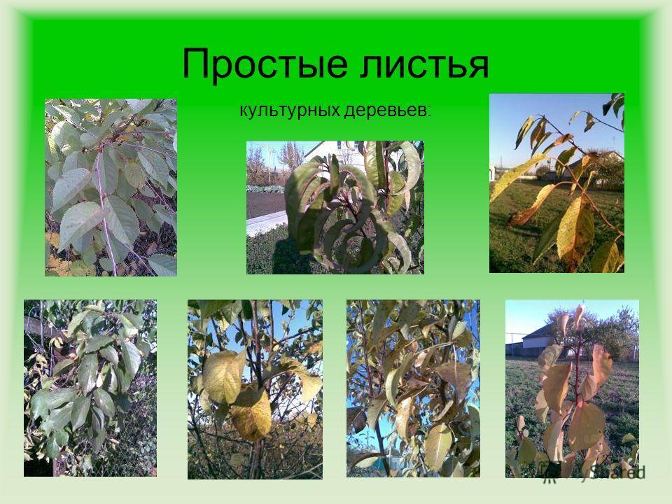 Простые листья и сложные листья картинки для 18