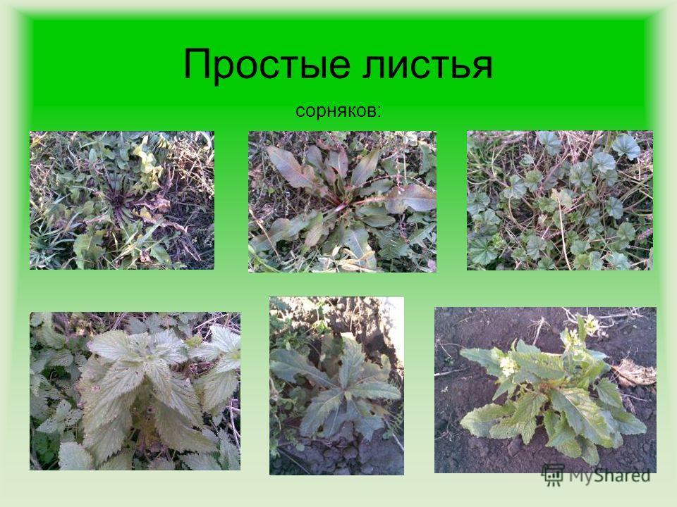 Простые листья сорняков: