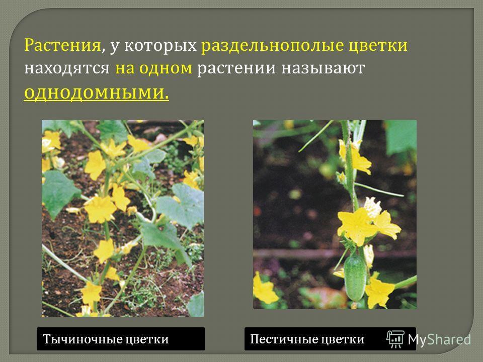 Растения, у которых раздельнополые цветки находятся на одном растении называют однодомными. Тычиночные цветкиПестичные цветки