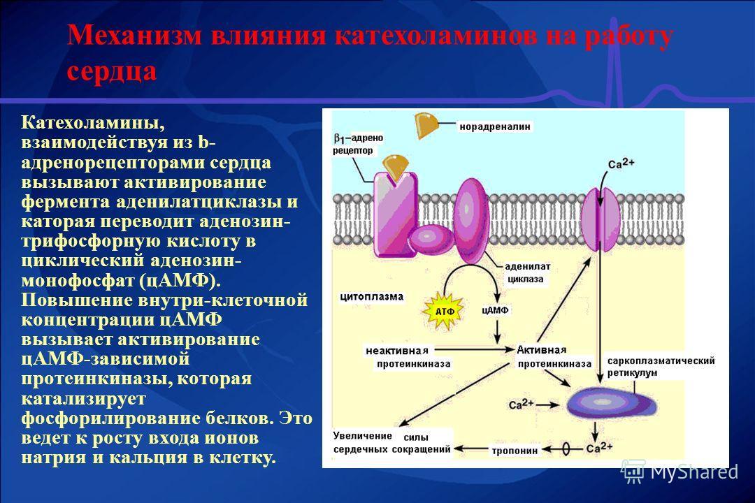 Механизм влияния катехоламинов на работу сердца Катехоламины, взаимодействуя из b- адренорецепторами сердца вызывают активирование фермента аденилатциклазы и каторая переводит аденозин- трифосфорную кислоту в циклический аденозин- монофосфат (цАМФ).