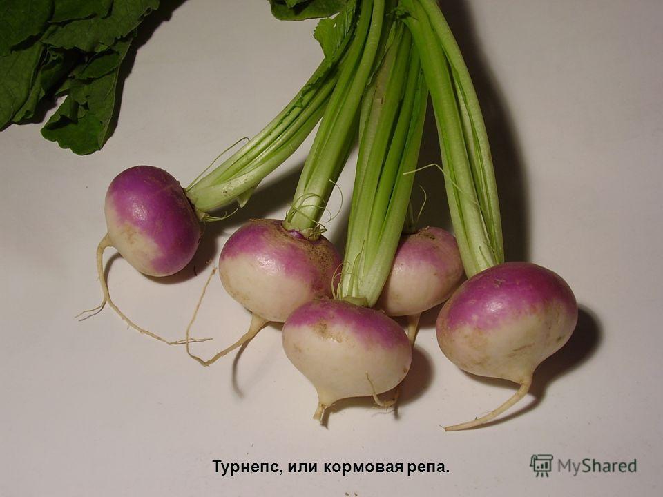 Турнепс, или кормовая репа.