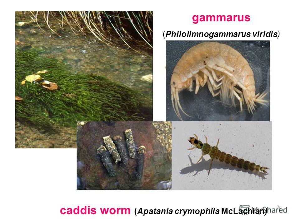 24 caddis worm (Apatania crymophila McLachlan) gammarus (Philolimnogammarus viridis)