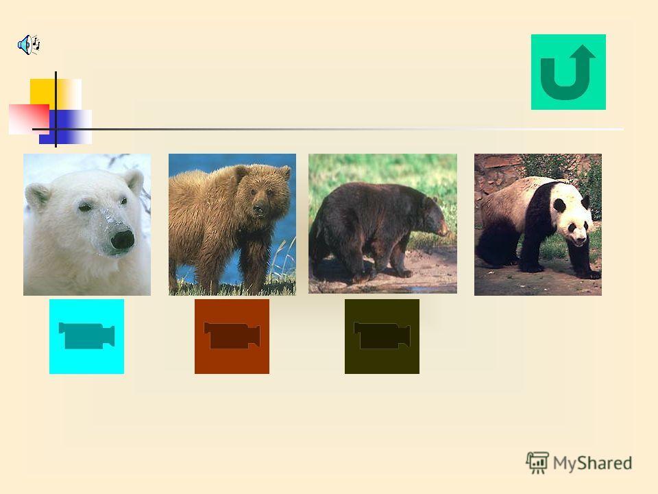 33. Какой из медведей самый крупный: 1. Белый медведь 2. Бурый медведь (гризли) 3. Чёрный медведь (барибал) 4. Бамбуковый медведь (панда) 34