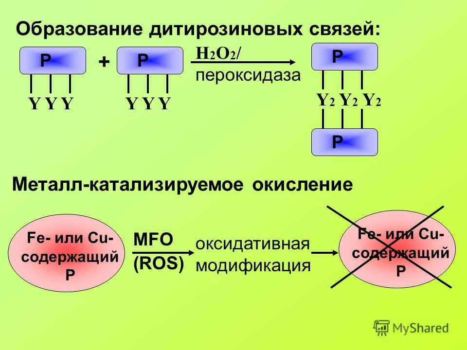 Образование дитирозиновых связей: Р Y Y Y Р + H 2 O 2 / пероксидаза Металл-катализируемое окисление Fe- или Cu- содержащий Р MFO (ROS) оксидативная модификация Fe- или Cu- содержащий Р Y 2 Y 2 Y 2 Р Р