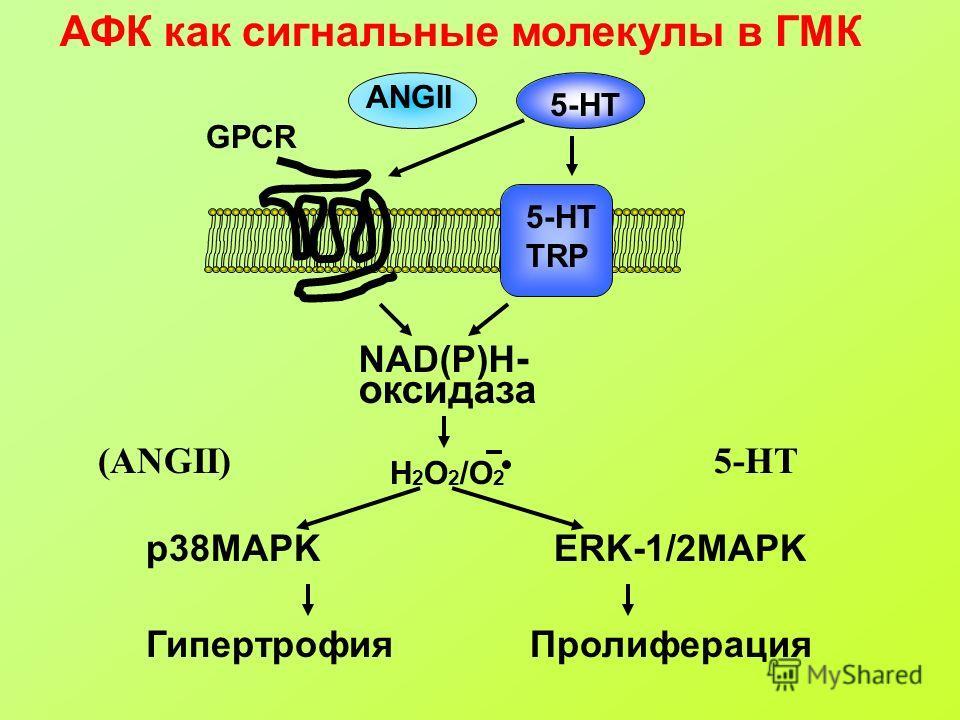 АФК как сигнальные молекулы в ГМК ANGII 5-HT TRP GPCR NAD(P)H - оксидаза Н 2 О 2 /O 2 ГипертрофияПролиферация p38MAPKERK-1/2MAPK (ANGII)5-HT