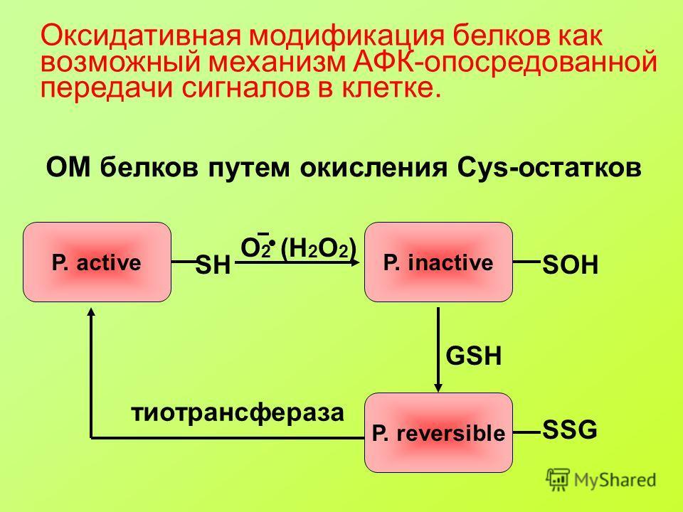 Оксидативная модификация белков как возможный механизм АФК-опосредованной передачи сигналов в клетке. ОМ белков путем окисления Cys-остатков SH P. active O 2 (H 2 O 2 ) SOH P. inactive GSH P. reversible SSG тиотрансфераза
